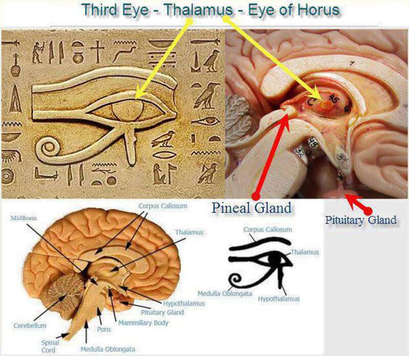 ONE OF THE BIGGEST SECRETS KEPT FROM HUMANITY: THE PINEAL GLAND ...