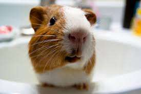 Improving Your Guinea Pig's Diet