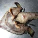 'Alien' Fish With Human Nose And Feet Found In The Caribbean
